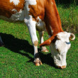 Cow — Stock Photo #1188099