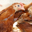 Group of hens — Stock Photo #1188215