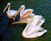 Pélicans blancs — Photo