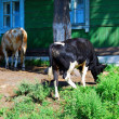 Two cows against wooden house — Foto Stock