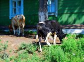 Two cows against wooden house — Stock Photo