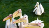 Group of white pelicans — Stock Photo