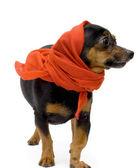 Porträt von lustigen kleinen Hund mit rot sh — Stockfoto