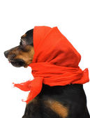 Portrait of funny dog with red headscarf — Stock Photo