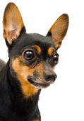 Llitle funny dog — Stock Photo