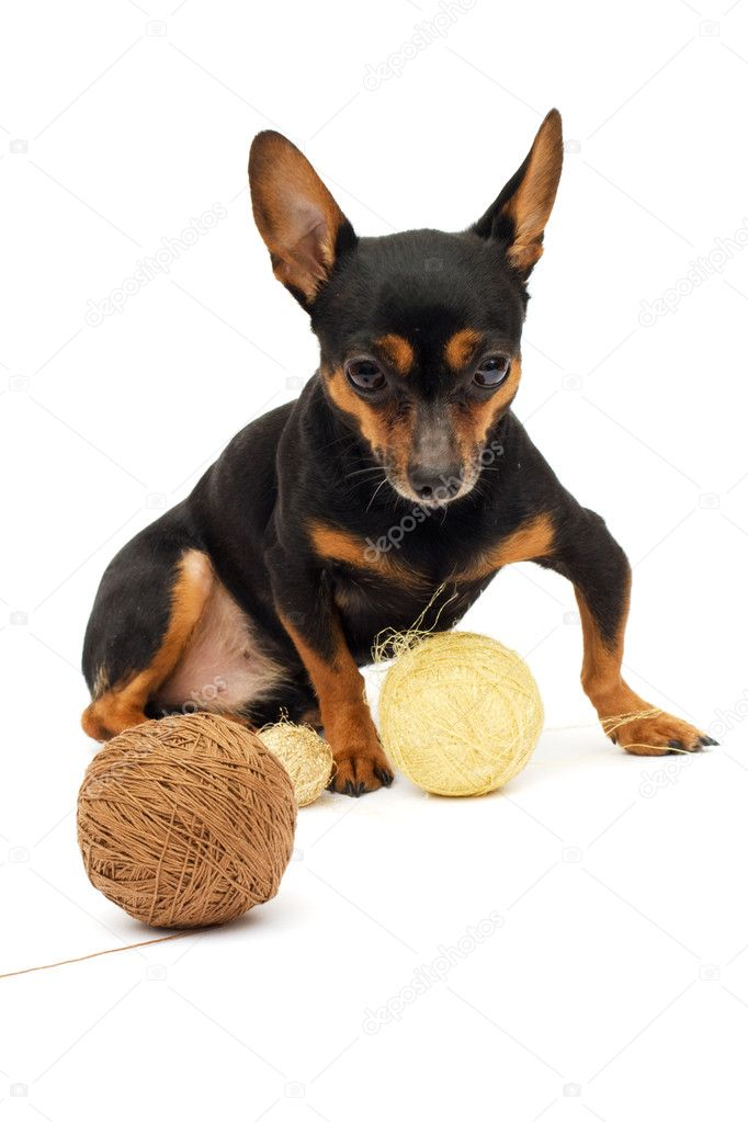 Little funny dog — Stock Photo #1112213