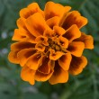 Heads of marigoldes - Stock Photo