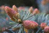 Blossom of fir-tree — Stock Photo