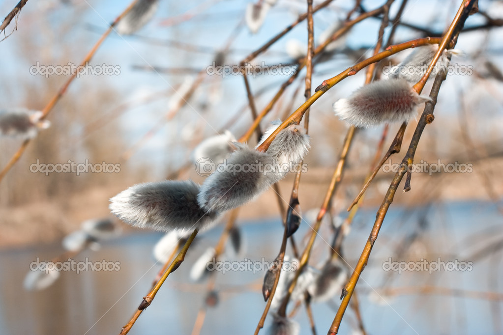 Blossom branches of willow on blur nature background — Stock Photo #1177933