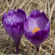 Spring blossom of mountain crocuses — Stock Photo
