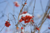 Viburnum at winter — Stock Photo