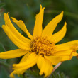 Mountain Arnica — Stock Photo