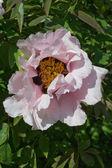 Roze peon — Stockfoto