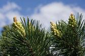 Fir-tree cones — Stock Photo