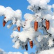 Stock Photo: Cones on christmas fir branch