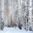 Winter birch woods alley — Stock Photo