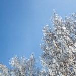 bois de bouleaux d'hiver sous le ciel bleu — Photo #1113226