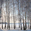 Winter birch trees alley — 图库照片