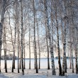 Winter birch trees alley — Stok fotoğraf