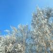 Winter frozen birch trees — Stock Photo #1113256