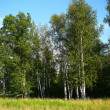 Stock Photo: Summer birch woods