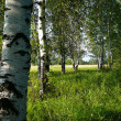 Stock Photo: Birch woods