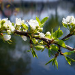 Blossom apple-tree branch — Stock Photo #1115064