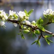 Blossom apple-tree branch — Stock Photo