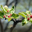 Red buds on apple-tree — Stock Photo #1115142
