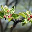 Stock Photo: Red buds on apple-tree