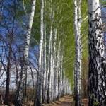 allée bois bouleau de printemps — Photo #1115517