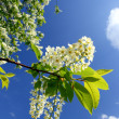 Blossom bird cherry tree branch — Stock Photo #1115716