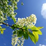 Blossom kuş kiraz ağacı dalı — Stok fotoğraf