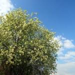 arbre bird cherry Blossom — Photo