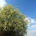 Blossom kuş kiraz ağacı — Stok fotoğraf
