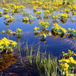Spring yellow flowers on bog — Stock Photo #1115840