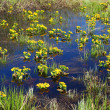 Spring yellow flowers on bog — Stock Photo #1115947