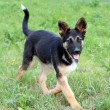 Junge Running Dog Fun — Stockfoto