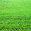 Stock Photo: Green herb grass field