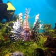 Lionfish in tropical aquarium — Stock Photo