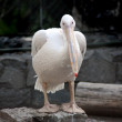 Pelican — Stock Photo #1119617