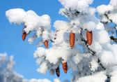 Cones on christmas fir branch — Stock Photo