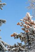 Natale bosco e blu cielo — Foto Stock