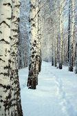 Small path in winter birch wood — Stock Photo
