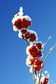 Ash-berry red branches under snow — Stock Photo