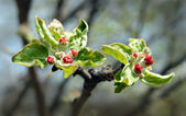 Red buds on apple-tree — Stock Photo
