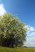 Blossom bird cherry tree — Stock Photo