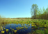 Landscape with yellow flowers on bog — Stock Photo