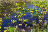 Spring yellow flowers on bog — Stock Photo