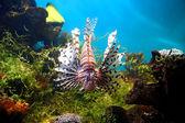 Lionfish in tropical aquarium — Stock Photo